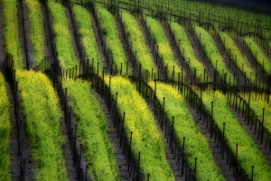 Napa Valley vineyard interspersed with wild mustard